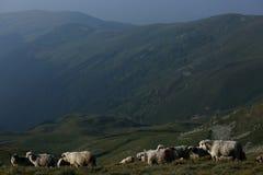 Sheep on mountain peaks Stock Photo
