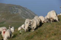Sheep on mountain peaks Stock Photos