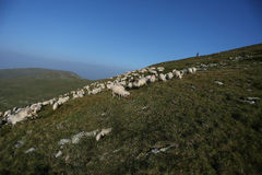 Sheep on mountain peaks Stock Images