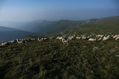 Sheep on mountain peaks Royalty Free Stock Photography