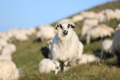 Sheep on mountain peaks Royalty Free Stock Images