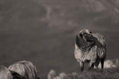 Sheep on mountain peaks. Flock of sheep on the mountain peaks, skyline landscape Stock Photos