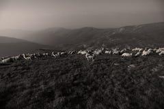 Sheep on mountain peaks. Flock of sheep on the mountain peaks, skyline landscape Royalty Free Stock Photos