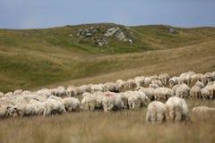 Sheep on mountain peaks, full portrait Stock Photos