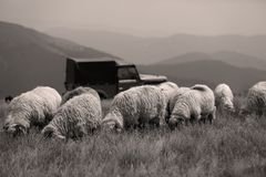 Sheep on mountain peaks, 4x4 vehicle Stock Images
