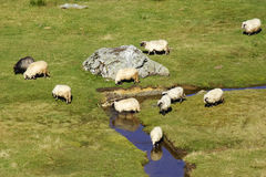Sheep on a mountain river Royalty Free Stock Image