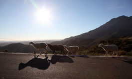 Sheep on the road in Andalusia Royalty Free Stock Photo