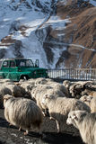 Sheep on a mountain road. stock photography