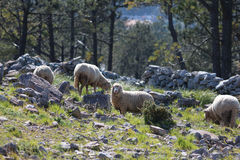 Sheep in a mountain. Sheep on the mountain (Serra D'Aire e Candeeiros - Leiria - Portugal) surrounded by limestone stones and marble eating grass and watching royalty free stock image