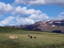 Sheep on a mountain slope Stock Photography