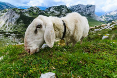 Sheep on a mountain slope eating grass stock image