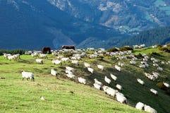 Sheep on mountain slope. Sheep and horses on mountain slope royalty free stock image