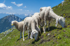 Sheep on the mountain. Small flock of sheep on the mountain Royalty Free Stock Images