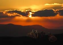 Sheep on a mountain Royalty Free Stock Photo