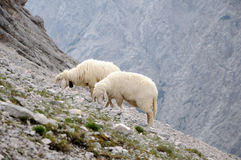 Sheep in the mountains Stock Photo