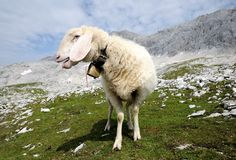 Sheep in the mountains Stock Image