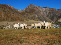 Sheep in the mountains Stock Images