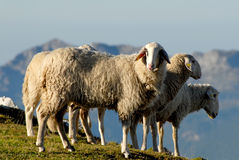 Sheep in the mountains Royalty Free Stock Image