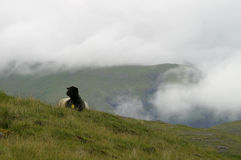 Sheep in the mountains. Black and white sheep high in the misty mountains, Faroe Island Stock Image