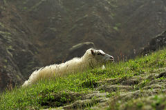Sheep at the mountains. Iceland Royalty Free Stock Image