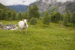 Sheep in mountains Stock Images