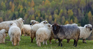 Sheep in the mountains in autumn Royalty Free Stock Photos