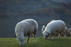 Sheep in the mountains in autumn Royalty Free Stock Images