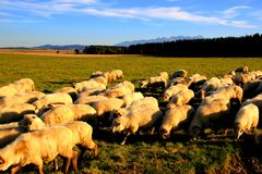 Sheep on mountains background Royalty Free Stock Images