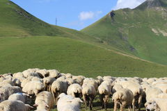 Sheep on the mountains. A flock of sheep grazing in the meadow in Georgians mountains Royalty Free Stock Photography