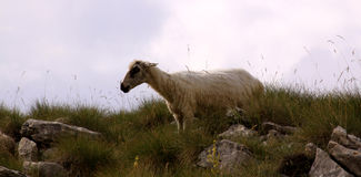 Sheep in the mountains Royalty Free Stock Photography