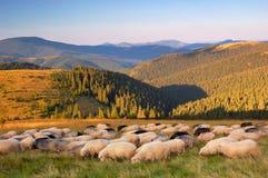 Sheep in the mountains Stock Photos