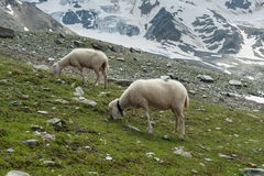 Sheep at the mountains Royalty Free Stock Photo