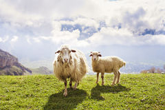 Sheep in the mountains Royalty Free Stock Photos