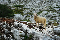 Sheep in the mountains I. Royalty Free Stock Image