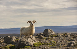 Sheep in Mountains on Iceland Royalty Free Stock Images