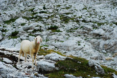 Sheep in the mountains II. Royalty Free Stock Photography