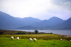 Sheep and the mountains of kerry Stock Photo