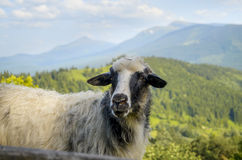 Sheep in the Mountains. Lovely sheep posing against mountains in summertime royalty free stock photography