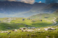 Sheep on mountains meadow Stock Images