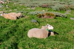 Sheep at mountains Stock Photo