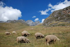 sheep and mountains  in Peru Royalty Free Stock Image