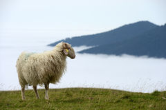 Sheep in the mountains of the Pyrenees France Royalty Free Stock Images