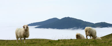Sheep in the mountains of the Pyrenees France Stock Images