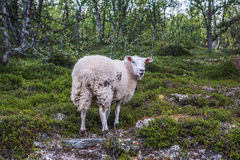 Sheep in mountains of Scandinavia Stock Photo