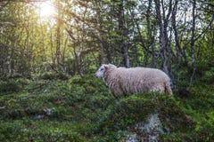 Sheep in mountains of Scandinavia. Sheep in forrest in mountains of Scandinavia Royalty Free Stock Photo