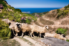 Sheep in the mountains by the sea in Sithonia, Greece Royalty Free Stock Photo