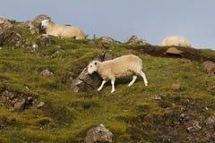 Sheep in the mountains - skye isle, Scotland Stock Image