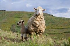 Sheep in mountains. In valley near Huaraz, Peru Royalty Free Stock Photo