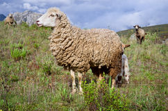 Sheep in mountains Royalty Free Stock Images