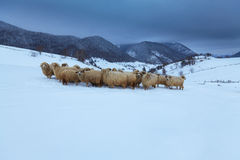 Sheep in the mountains in winter Stock Photography